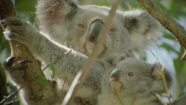 stockvideo's en b-roll-footage met close up koala bear + baby koala sitting in tree looking at camera / australia - dierenfamilie