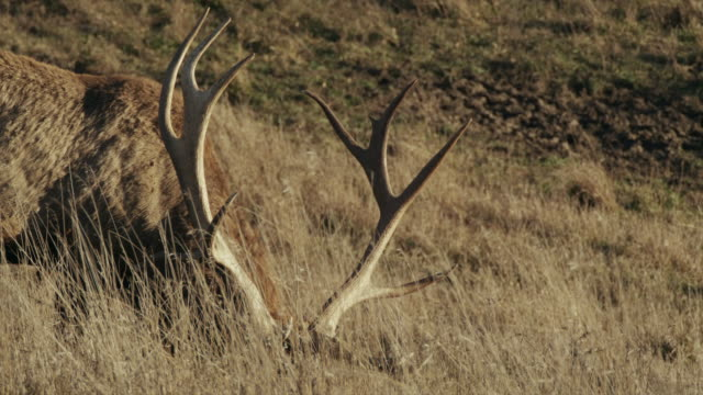 close up large antler rack of bull elk grazing in tall grass. - antler stock videos & royalty-free footage