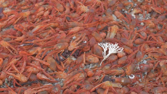 close up: large batch of orange crabs completely covering sandy shore - small stock videos & royalty-free footage