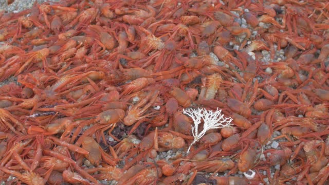 close up: large batch of orange crabs covering sandy shore - small stock videos & royalty-free footage