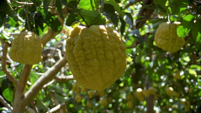 stockvideo's en b-roll-footage met close up large, bumpy lemon hanging from tree in amalfi / amalfi coast, campania, italy - boomgaard