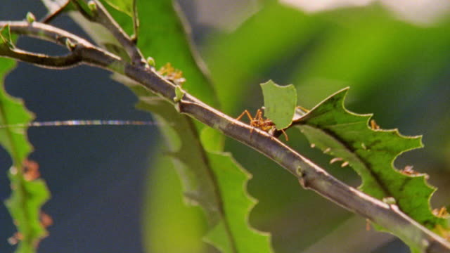 close up pan leaf cutter ant carrying piece of leaf down branch in rain forest / manu, peru - ant stock videos and b-roll footage