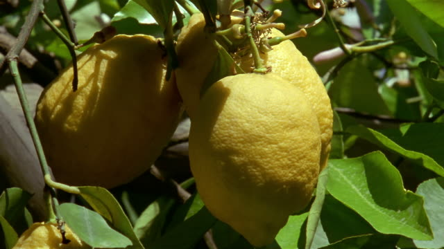 vídeos de stock, filmes e b-roll de close up lemons hanging from tree in amalfi / amalfi coast, campania, italy - orchard