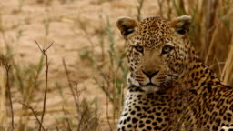Close up Leopard looking around