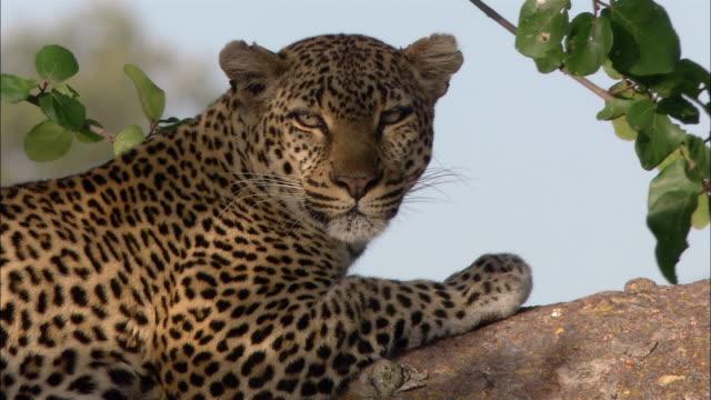 Close up leopard sleeping / opening eyes, turning head toward CAM / zoom out wide shot leopard in tree / Kenya