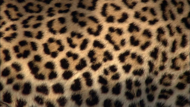 Close up leopard's spots on side moving as it breathes / Kenya, Africa
