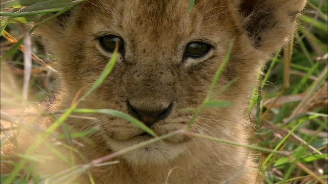 stockvideo's en b-roll-footage met close up lion cub looking at cam through a few blades of grass / turning its head away / kenya, africa - welp