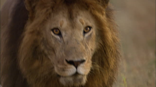 close up lion walking toward cam and looking around / masai mara, keny - male animal stock videos & royalty-free footage