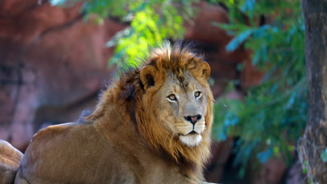 ライオンの肖像画を間近します。