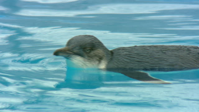 close up 'little penguins ' swimming around in an outdoor enclosure - enclosure stock videos & royalty-free footage