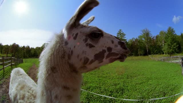close up llama turning head - herbivorous stock videos & royalty-free footage