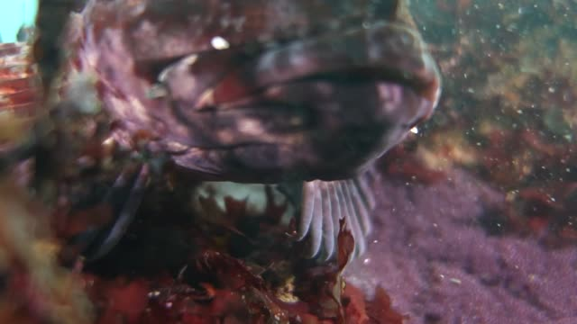 close up: lockdown of tompot blenny rockpool fish resting - tompot blenny stock videos and b-roll footage