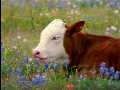 close up longhorn calf lying in field of wildflowers chewing / Texas