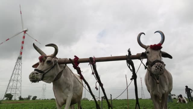 close up low angle view a pair of cattle harnessed to a yoke stand near a wind turbine manufactured by suzlon energy ltd operating at the ostro... - pair stock videos & royalty-free footage