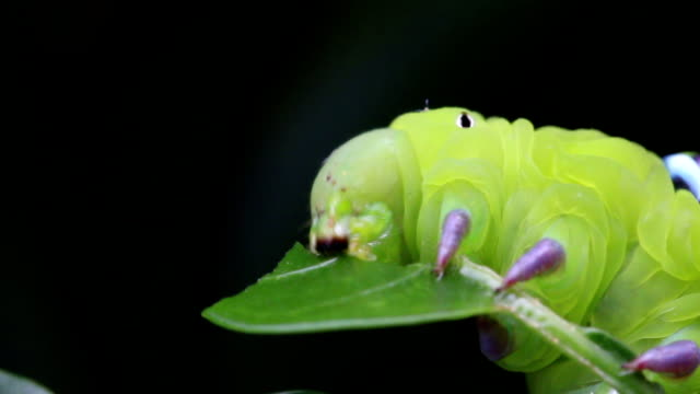 close up macro caterpillar / green worm is eating tree leaf - moth stock videos and b-roll footage