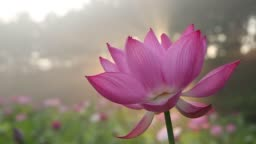 Close up macro of fresh Lotus flower in a pond