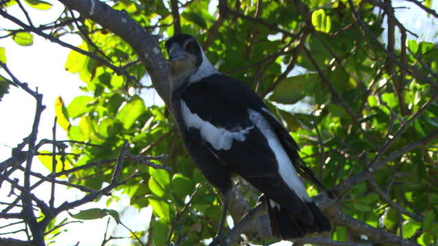 close up magpie sits in tree - elster stock-videos und b-roll-filmmaterial