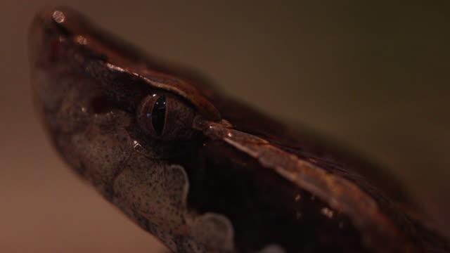 close up malayan pit viper snake. - viper stock videos & royalty-free footage