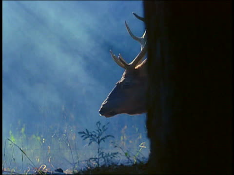 vídeos de stock, filmes e b-roll de close up male deer (buck) passing behind tree trunk with mist in background - sparklondon