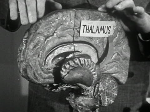 1950 close up man's hands pointing to model of human brain and turning it around / audio - midbrain stock videos & royalty-free footage
