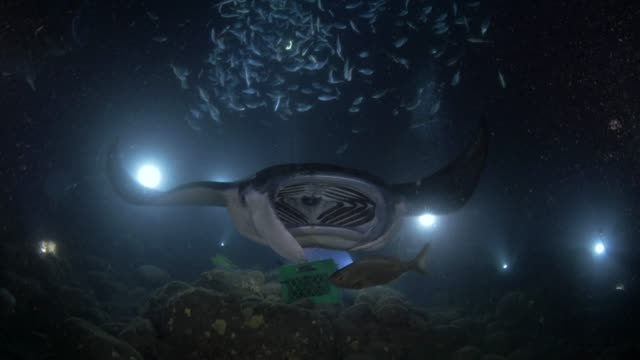 close up: manta rays swimming past over coral reef - fantasiewelt stock-videos und b-roll-filmmaterial