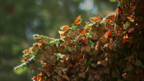 close up mass of monarch butterflies clinging to branch / zoom out to trees filled with butterflies / monarch butterfly biosphere reserve, ocampo, mexico - perching stock videos & royalty-free footage
