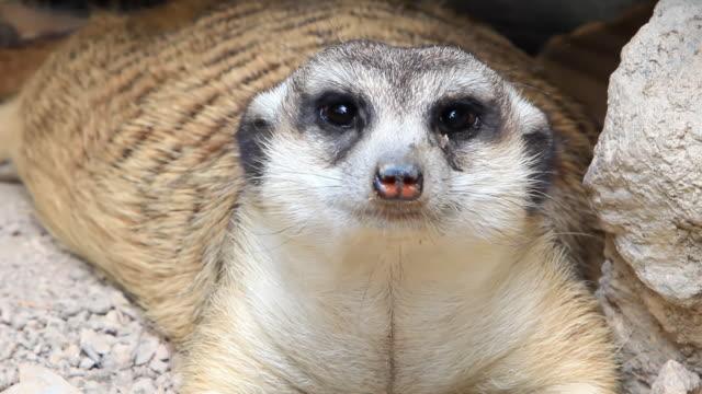 vídeos de stock, filmes e b-roll de close up suricato - olhando ao redor