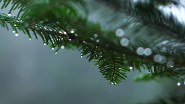 Close up, moisture on evergreen tree branch