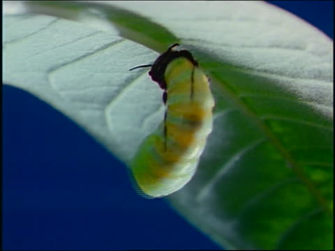 vidéos et rushes de close up monarch butterfly starting to emerge from chrysalis - cocon