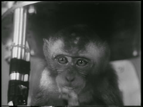 B/W 1952 close up monkey astronaut eating indoors / White Sands NM / newsreel