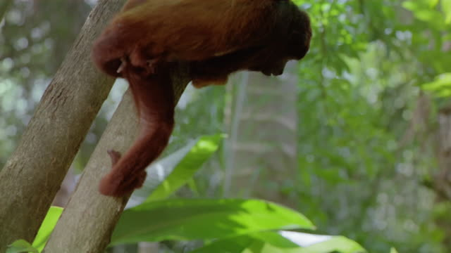 close up monkey climbing down tree / eating from human's hand / venezuela - human hand stock videos & royalty-free footage