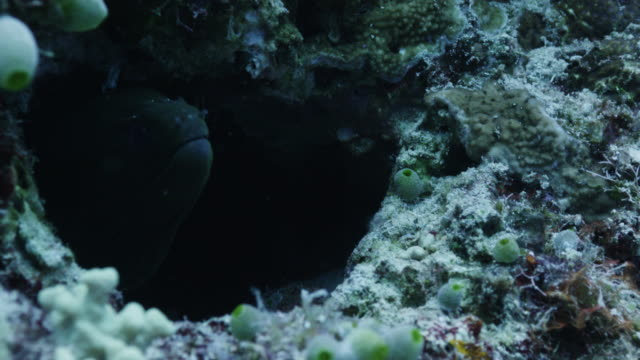 close up, moray eel hides in reef - moray eel stock videos and b-roll footage