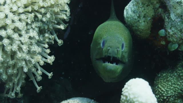 vídeos de stock, filmes e b-roll de close up, moray eel hides in reef - moreia