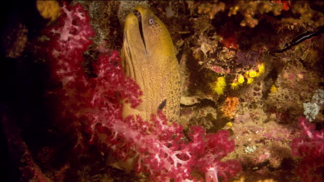 close up moray eel nesting in soft coral / queensland, australia - moray eel stock videos & royalty-free footage
