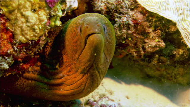 Close up moray eel peering out of coral / Coral Sea / Australia