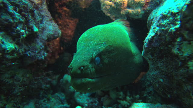 close up moray eel peering out of coral / smaller moray eel in coral / coral sea / australia - moray eel stock videos and b-roll footage