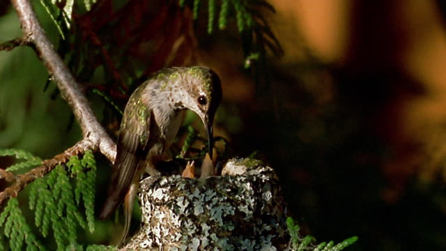 Close up mother hummingbird feeding 2 baby birds in nest