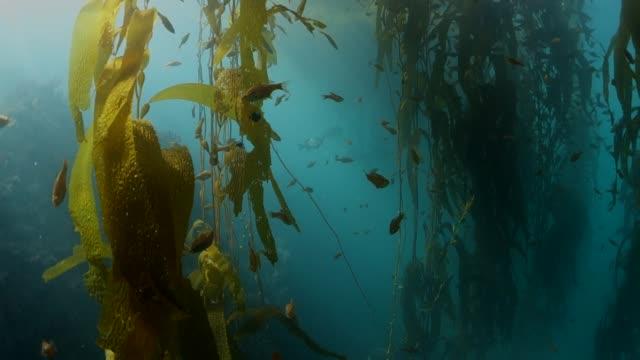 vídeos de stock, filmes e b-roll de close up: moving through kelp forest with schools of sardine fish passing by - kelp