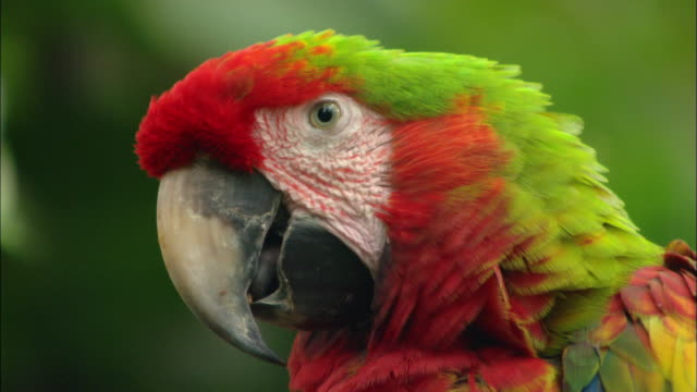 close up multicolored parrot turning head to look at camera / sarchi, costa rica - zoo stock videos & royalty-free footage