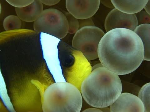 vidéos et rushes de close up nemofish in nice anemone. - poisson clown à trois bandes