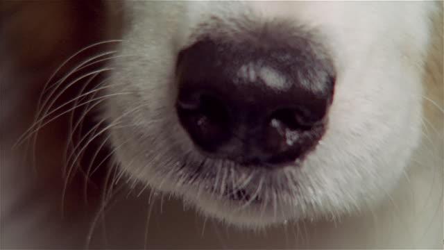stockvideo's en b-roll-footage met close up nose of australian shepherd - australische herder