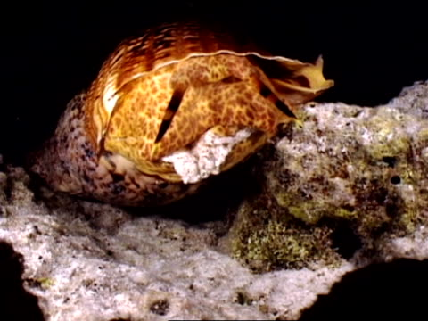 close up nudibranch emerging from shell - 軟体動物点の映像素材/bロール