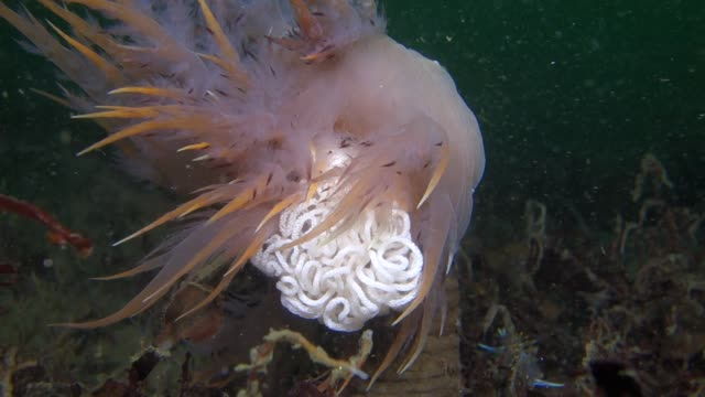 vidéos et rushes de close up: nudibranch with eggs swaying - varech