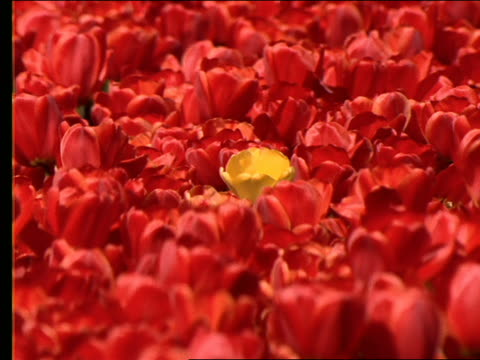 close up of 1 yellow tulip in field of red tulips / holland - cinematography stock videos & royalty-free footage