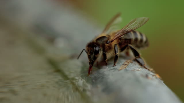 close up of a bee sucking up water - sucking stock videos & royalty-free footage