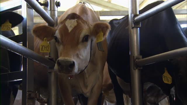 stockvideo's en b-roll-footage met close up of a brown cow. - middelgrote groep dieren