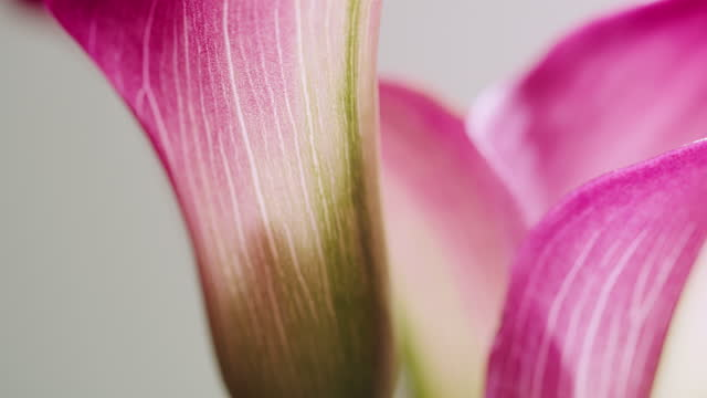 close up of a bunch of small pink calla lilies, heroically rotating against light grey background - petal stock videos & royalty-free footage
