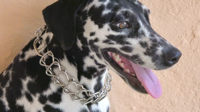 close up of a chained dalmatian dog - dalmatian dog stock videos and b-roll footage