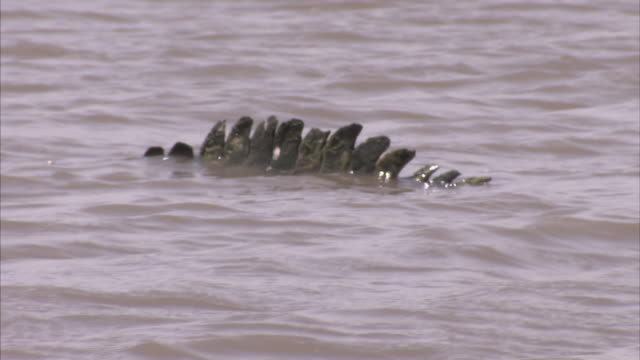 a close up of a crocodile tail moving with the tide before slowly sinking - tail stock videos & royalty-free footage