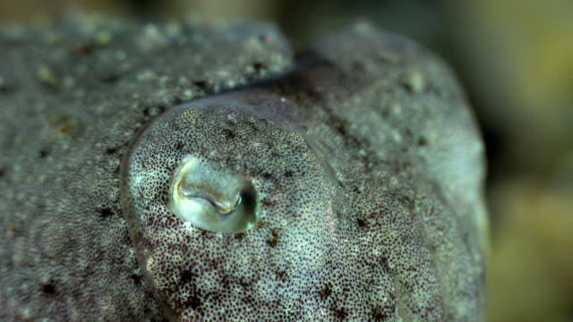 close up of a cuttlefish - cuttlefish stock videos & royalty-free footage